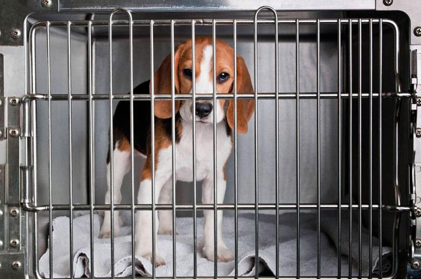 Cão da raça beagle utilizado em testes laboratoriais para o desenvolvimento de cosméticos para humanos
