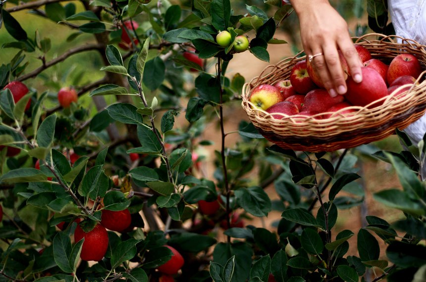 Produção de maçãs na Chapada Diamantina.