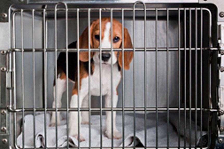 Cão da raça beagle, utilizado  em atividades de ensino, pesquisas e testes laboratoriais para o desenvolvimento de produtos de uso cosmético em humanos. Os cães são usados em pesquisas de medicamentos que serão lançados. O objetivo é verificar a existencia de possiveis reações adversas.