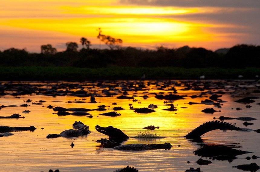 Jacarés ao pôr-do-sol no Pantanal Matogrossense