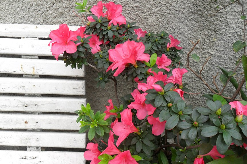 20.08.2011 Azaleia, planta ornamental.