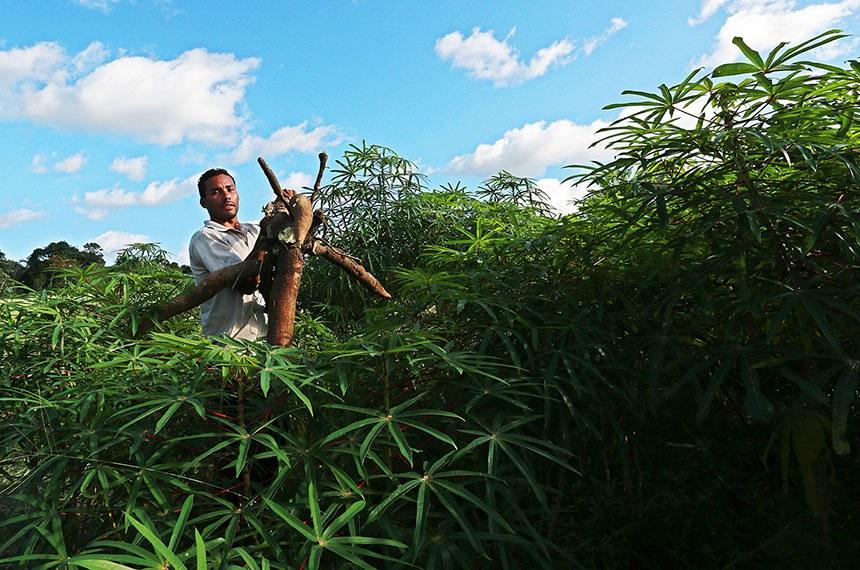 08.12.2016 Diversificação da produção muda vida de produtores rurais em Rodrigues Alves  Foto: Sérgio Vale/Secom