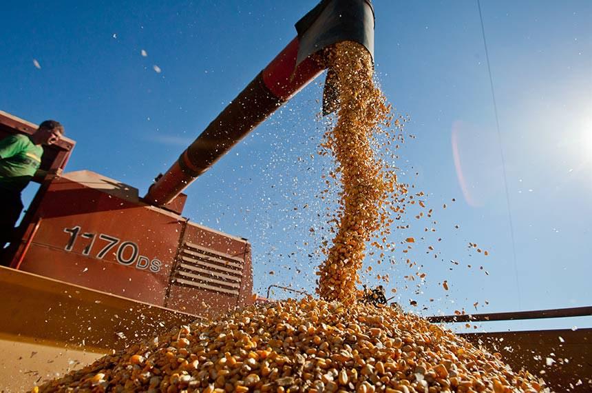 Colheita de milho em Sertão Santana.