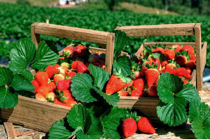 Fazenda de produção de morangos em Atibaia (SP). A cidade realiza a Festa das Flores e Morango de Atibaia.