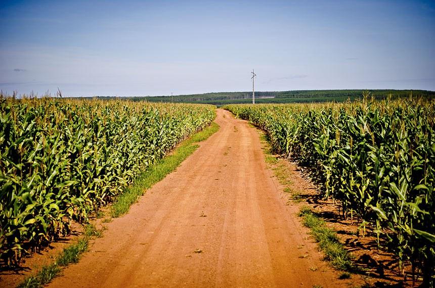 Plantação de Milho.