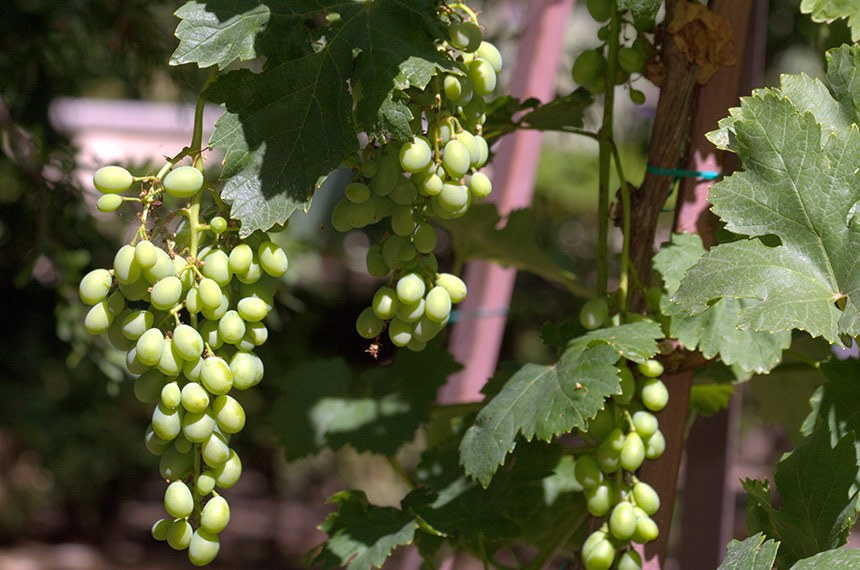 Jardín Botánico de Madrid-001 ; verao 2012 - uvas moscatel