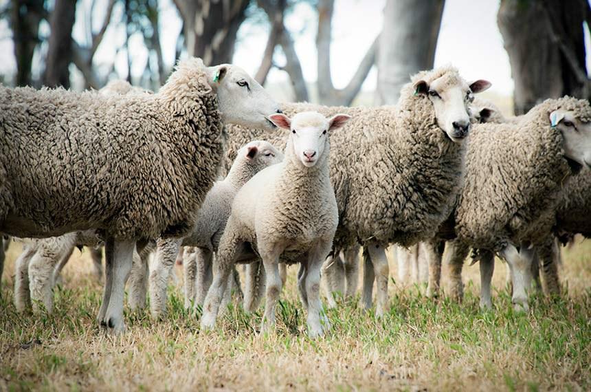 Lamb amongst sheep looking into camera  -----------  Criação de ovinos, ovelhas.
