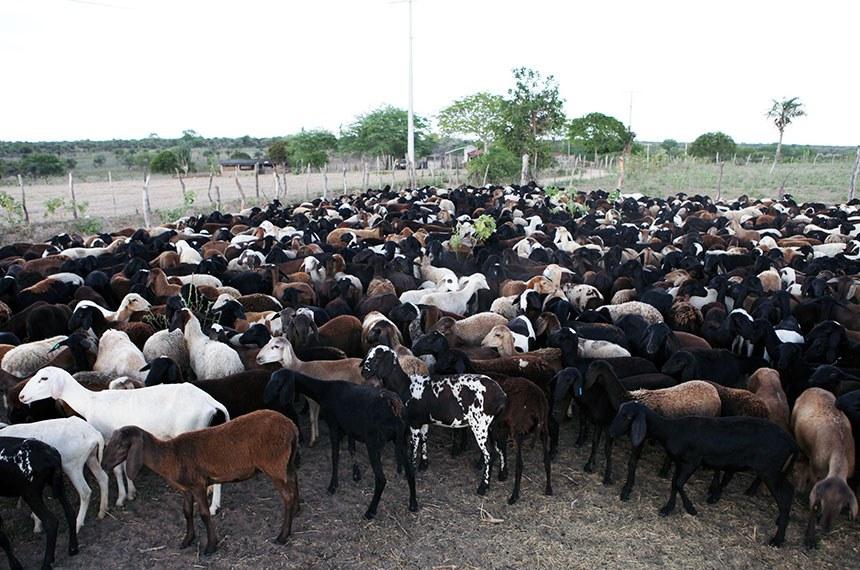 11.03.2011 Primeiro lote com ovelhas e carneiros está a caminho do Acre
