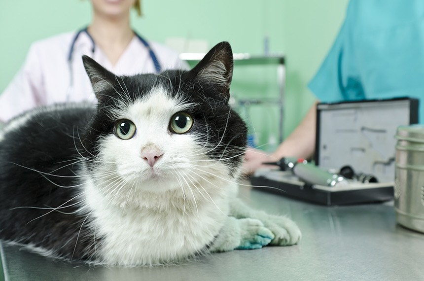Cat Waiting For Treatment At The Vet  -------  Gato recebe atendimento em clínica veterinária. Saúde animal