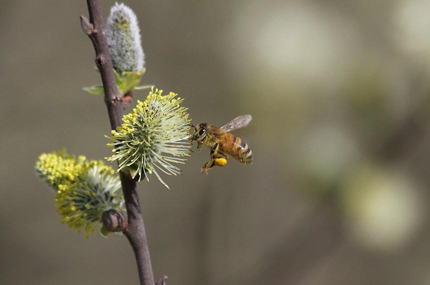Abelhas são insetos voadores, conhecidos pelo seu papel na polinização. Pertencem à ordem Hymenoptera, da superfamília Apoidea, subgrupo Anthophila, e são aparentados das vespas e formigas. O representante mais conhecido é a Apis mellifera, oriunda do Velho Mundo, criada em larga escala para a produção de mel, cera, própolis, geleia real e veneno (Apitoxina). As espécies de abelhas nativas das Américas (Novo Mundo) e Oceania (Novíssimo Mundo) não possuem ferrão e são menos agressivas do que as espécies africanas, a maioria destas pertence à tribo Meliponini.. As abelhas com ferrão encontradas comumente no Brasil são espécies híbridas de abelhas europeias e africanas, criadas para maior produtividade e resistência. Fonte: Wikipédia.   Foto: pxhere