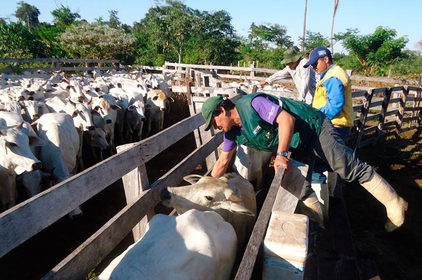 Vacinação contra febre aftosa na Bolívia garante segurança ao rebanho rondoniense
