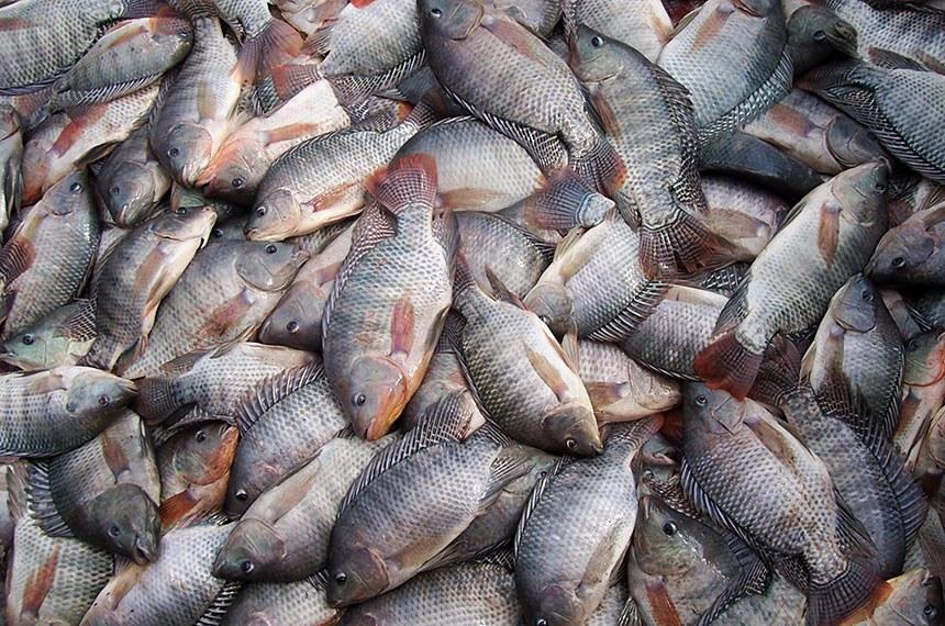 Tilápia corresponde a 60% da produção nacional de pescado, com mais de 300 mil toneladas anuais