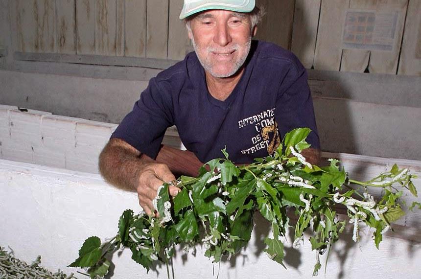 Produtor de Nova Esperança mostra bichos-da-seda se alimentando em ramo de amoreira