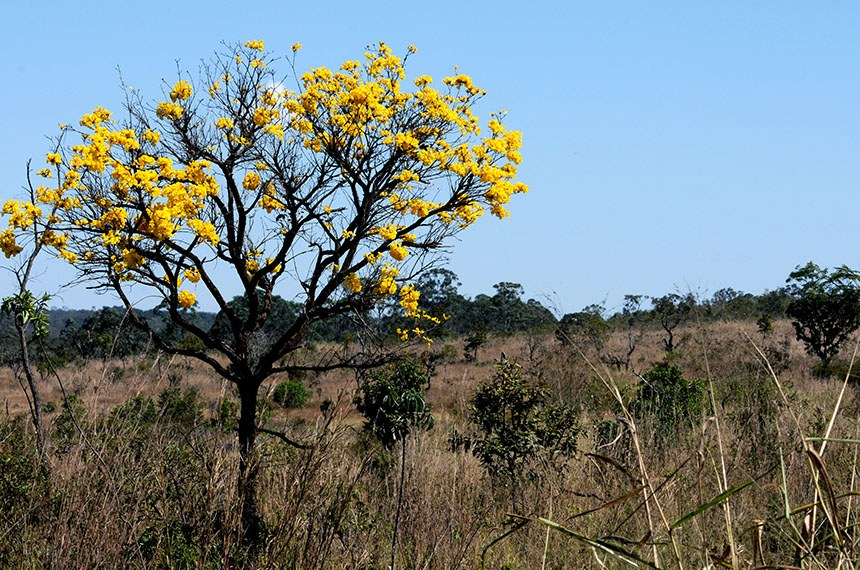 Nossa Brasília - Ipê amarelo   Foto: Gabriel Jabur/Agência Brasília