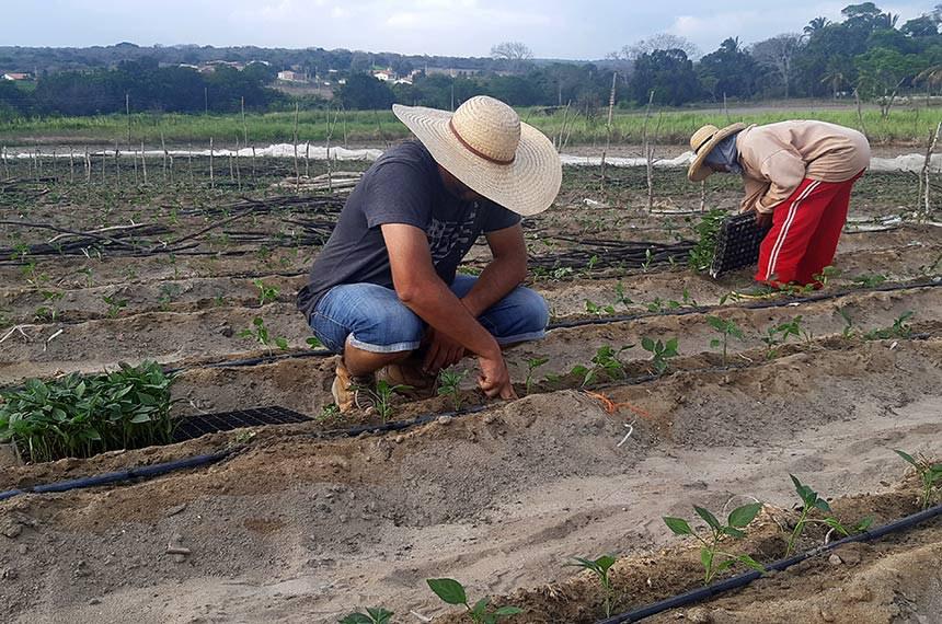 Sitio Baixa Fria- Plantacao de Pimentao . Cidade de Guaraciaba do Norte