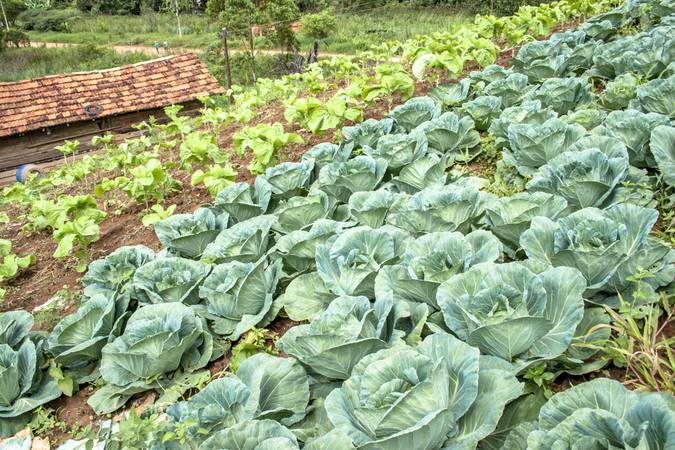 Cabbage and lettuce field in Brazil